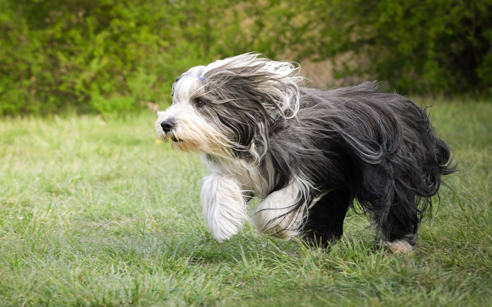 Bearded Collie - Lifestyle