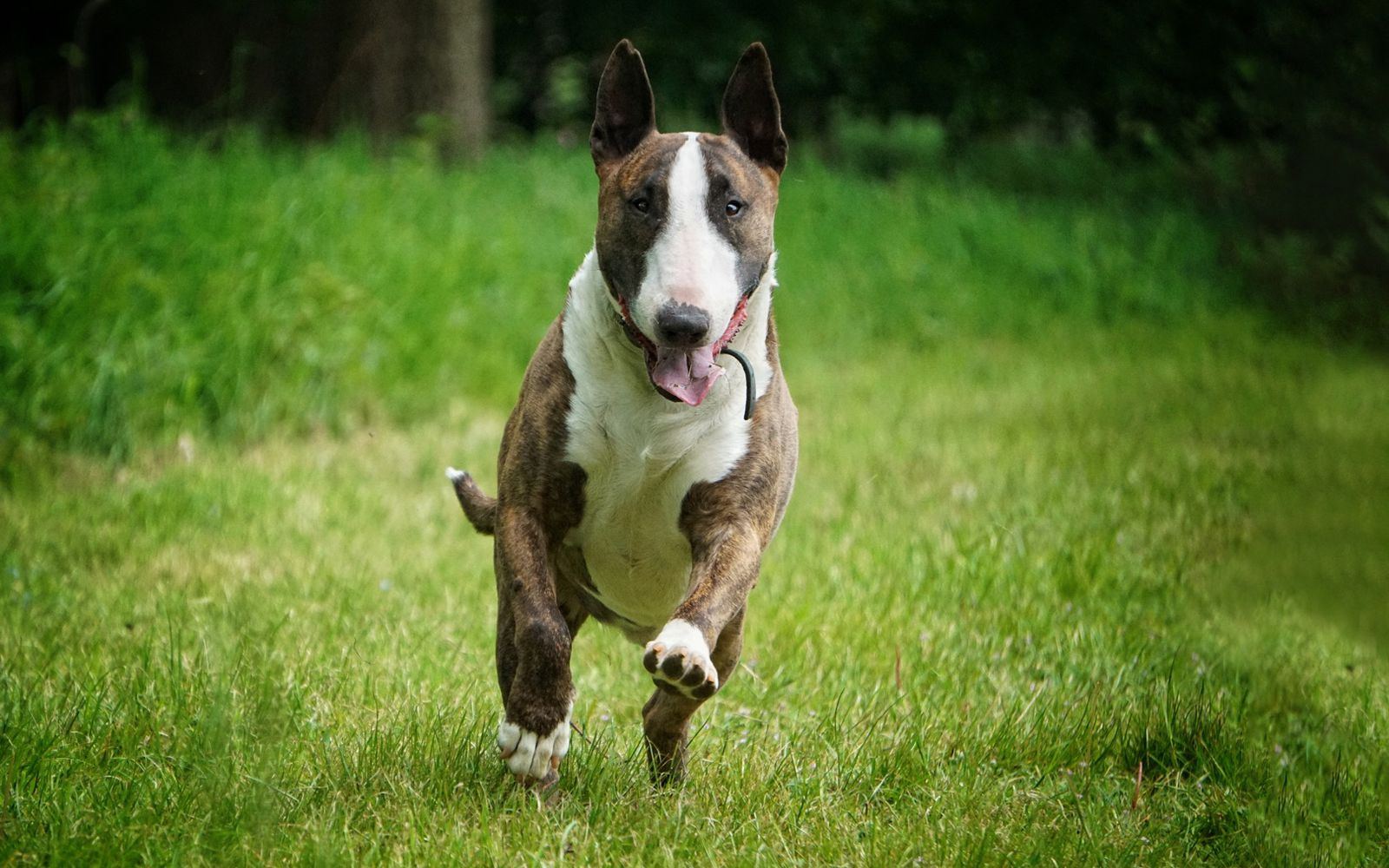 Bull Terrier - Lifestyle