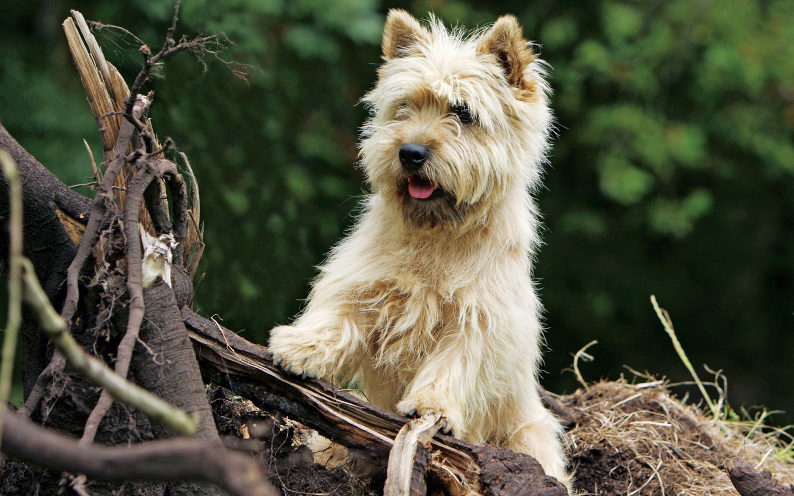 Cairn Terrier - Lifestyle