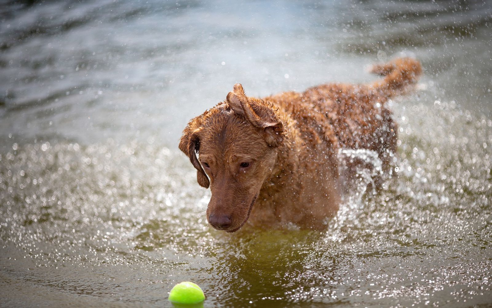 Chesapeake Bay Retriever - Lifestyle