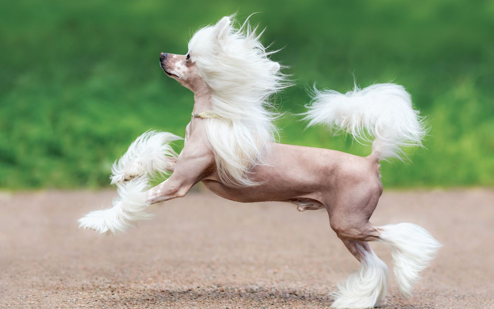 Chinese Crested - Lifestyle