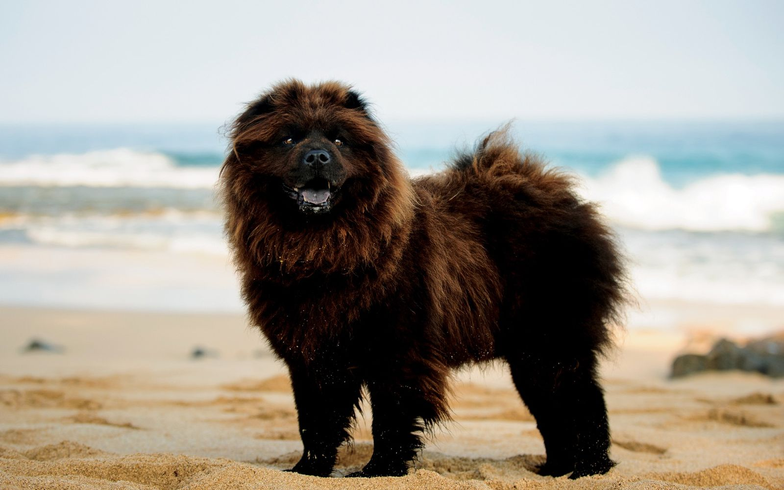 Chow Chow - Lifestyle