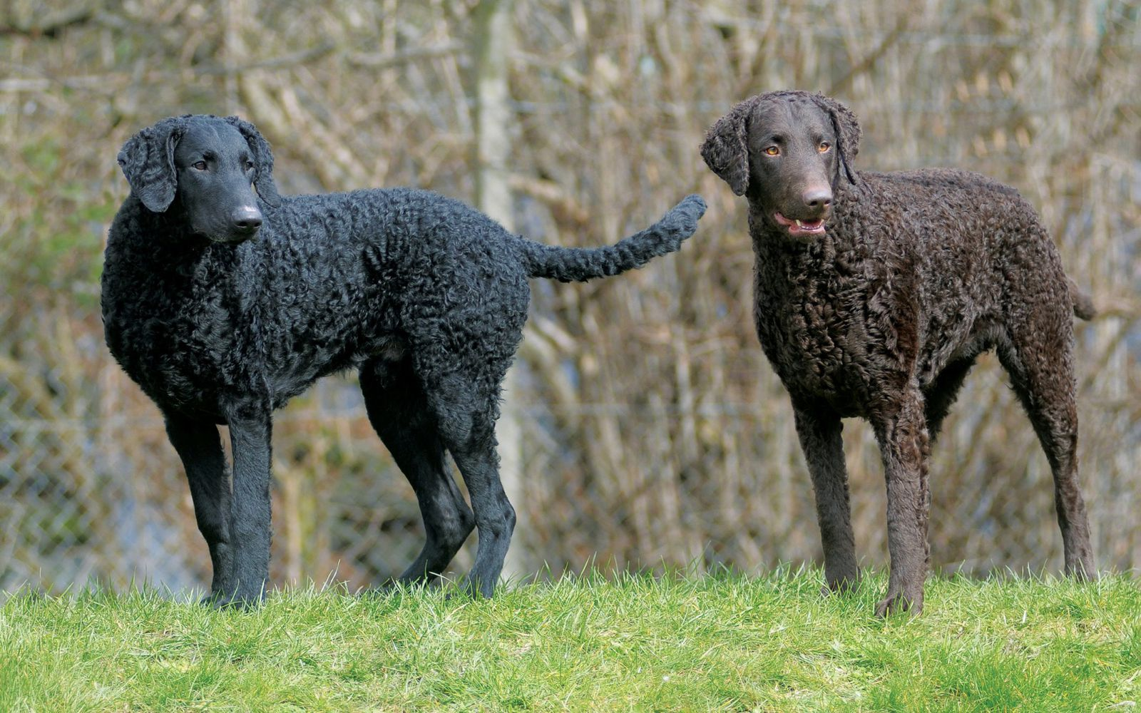 Curly Coated Retriever - Lifestyle