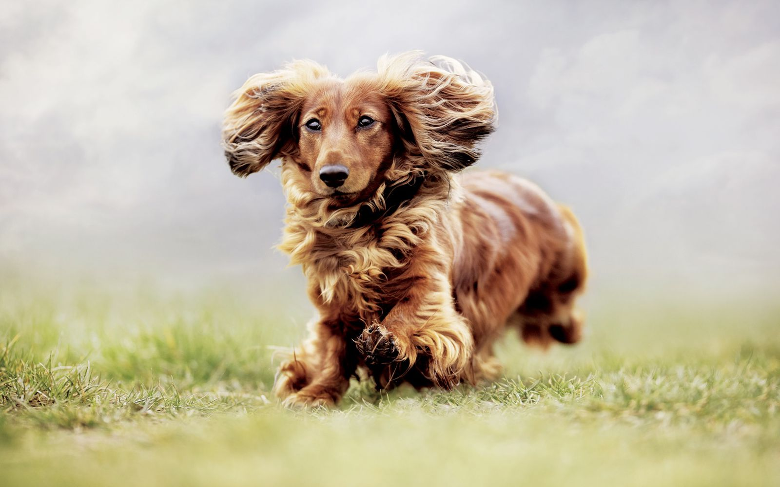Dachshund (Long Haired) - Lifestyle
