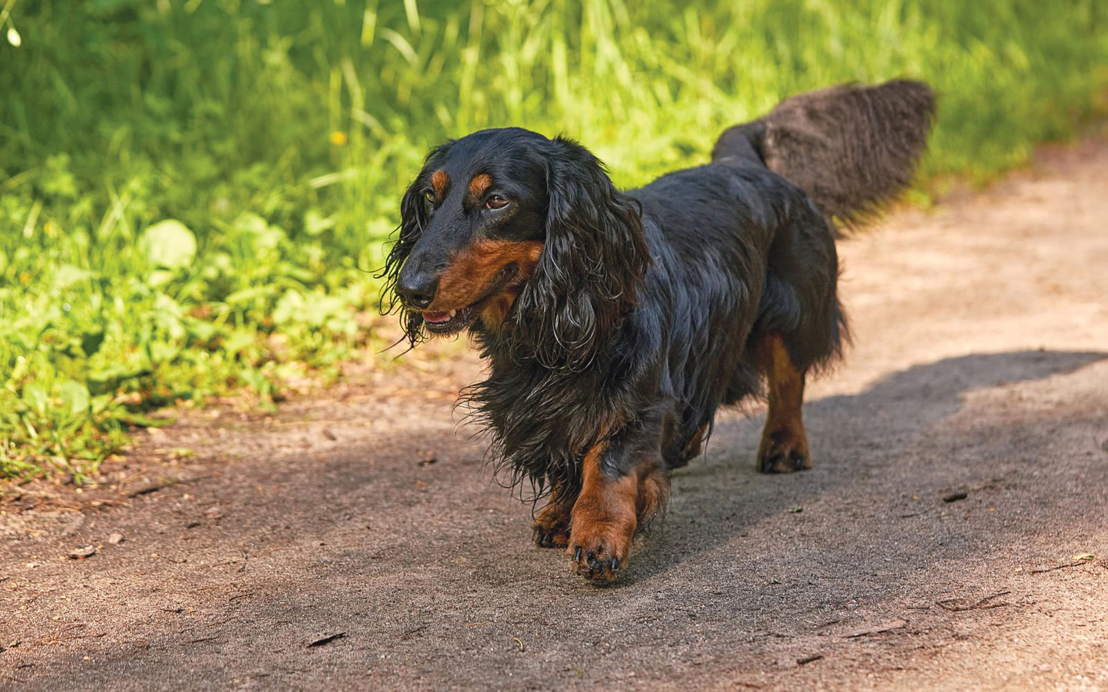 Dachshund (Miniature Long Haired) - Lifestyle
