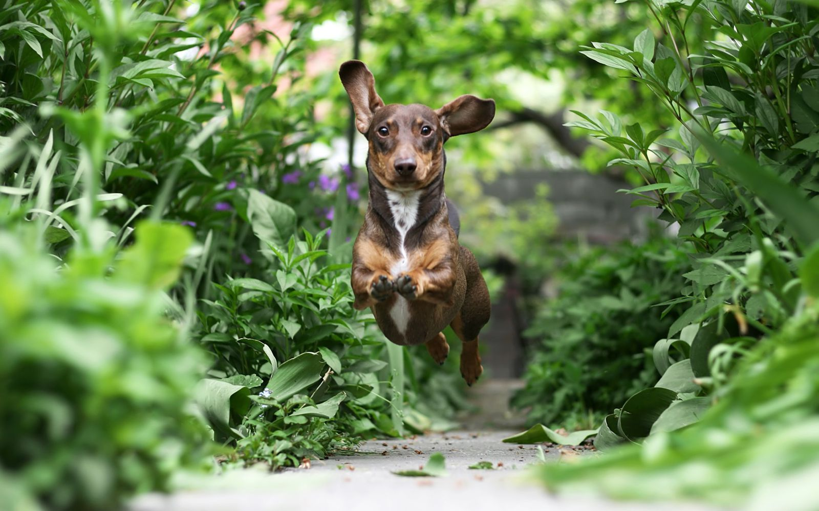 Dachshund (Smooth Haired) - Lifestyle