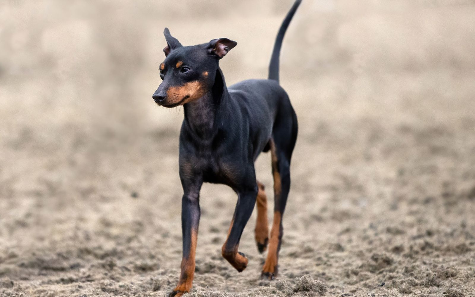 English Toy Terrier (Black and Tan) - Lifestyle