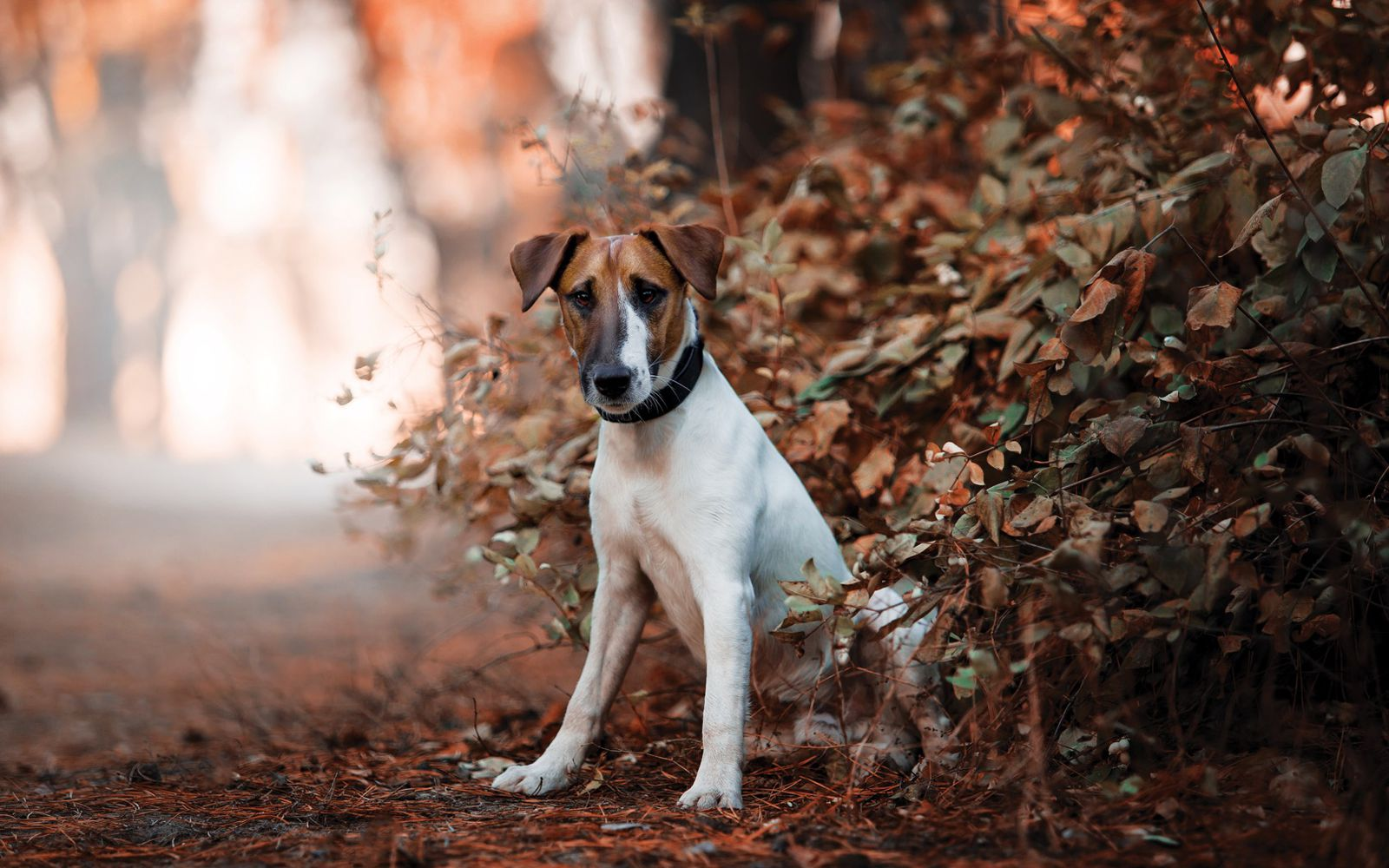 Fox Terrier (Smooth) - Lifestyle