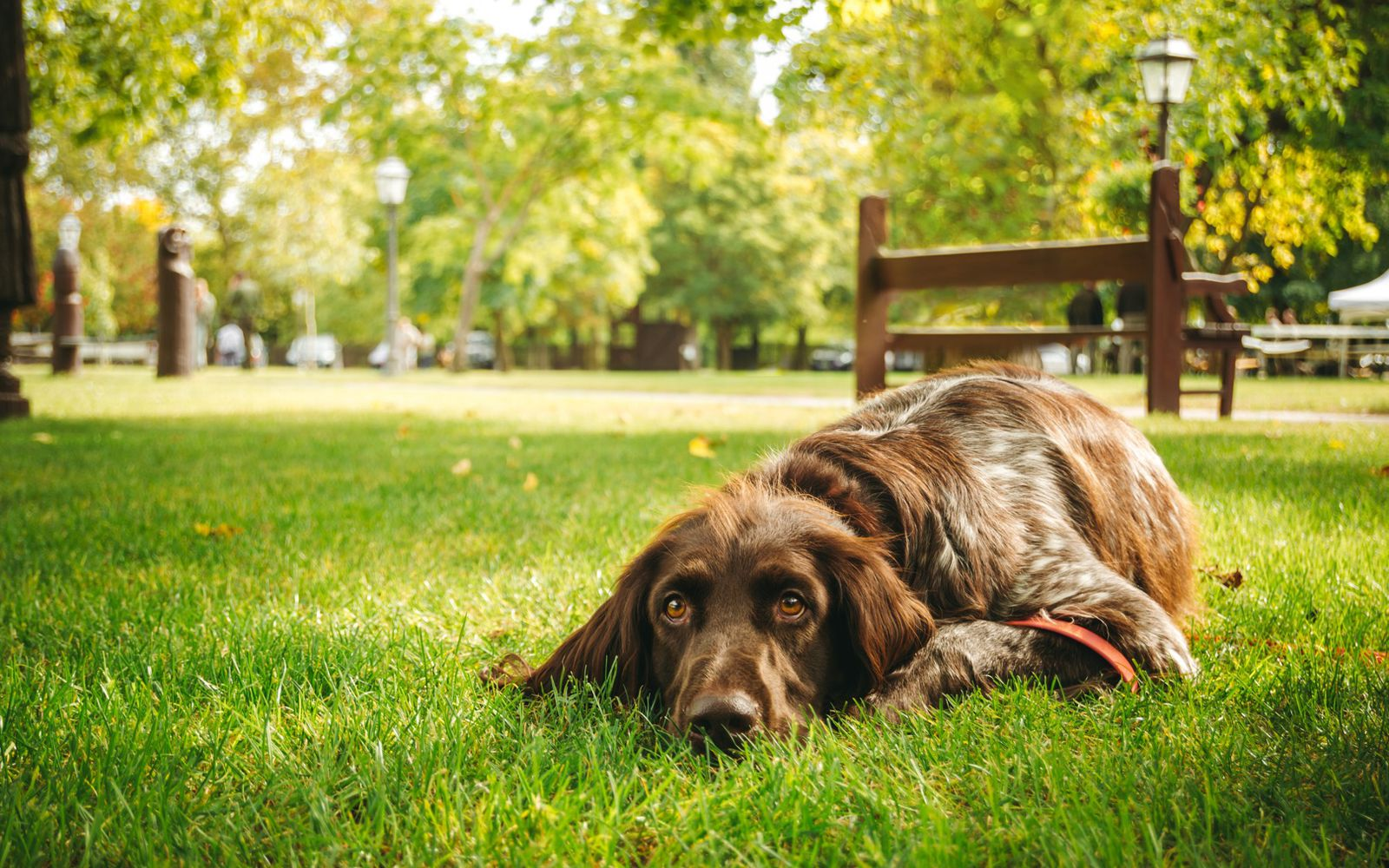 German Longhaired Pointer - Lifestyle