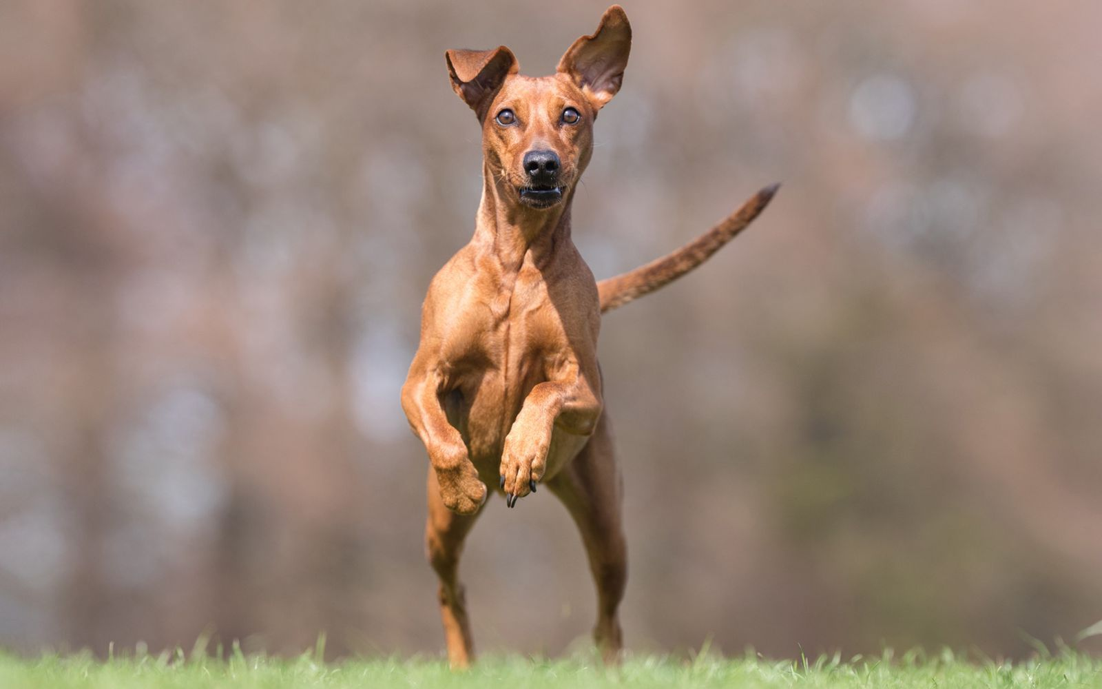 German Pinscher - Lifestyle