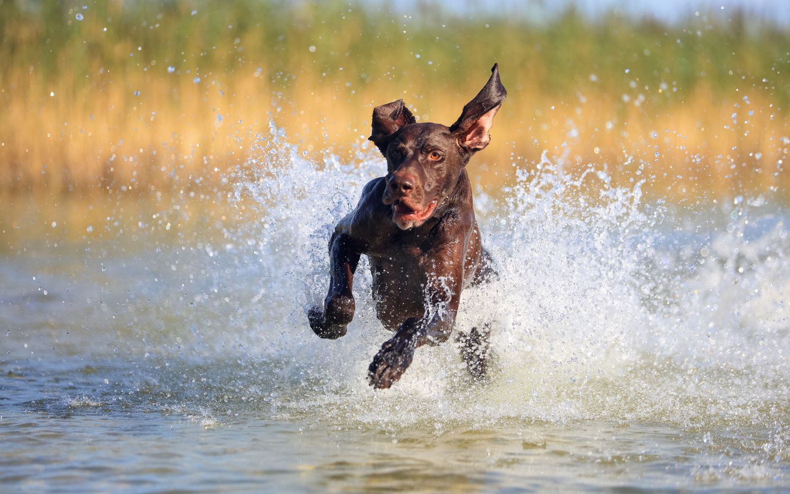 German Shorthaired Pointer - Lifestyle