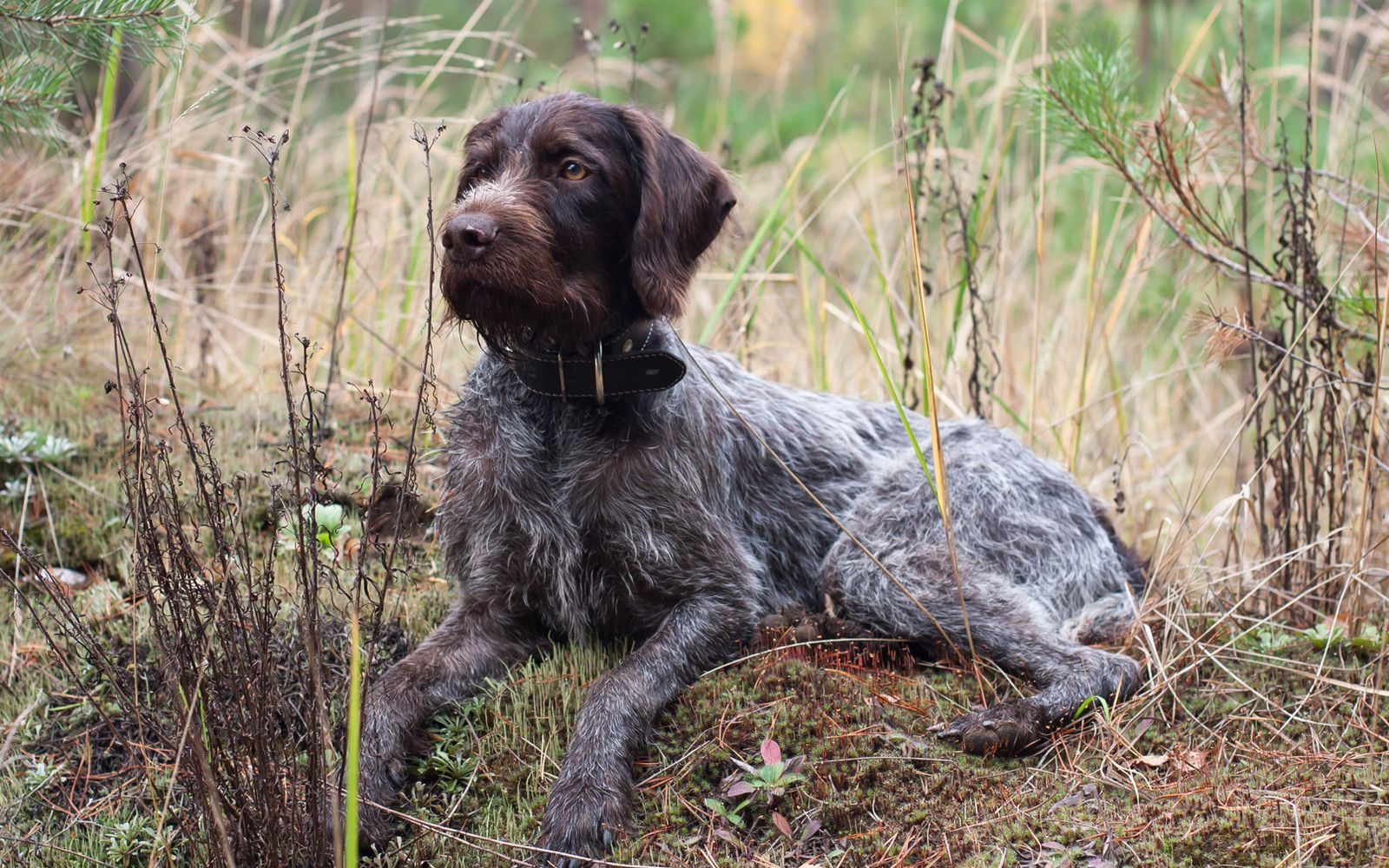 German Wirehaired Pointer - Lifestyle