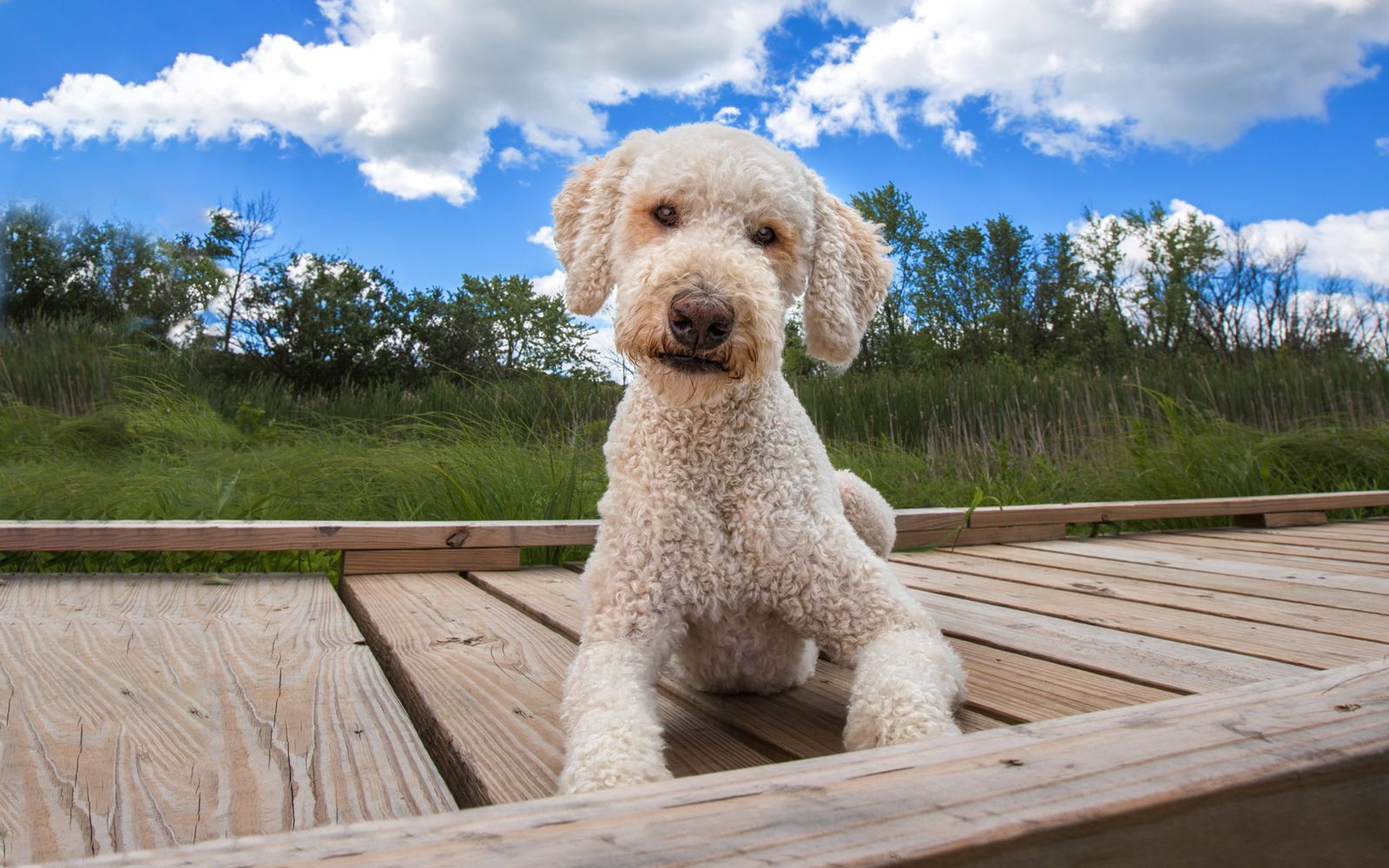 Goldendoodle Mini - Lifestyle