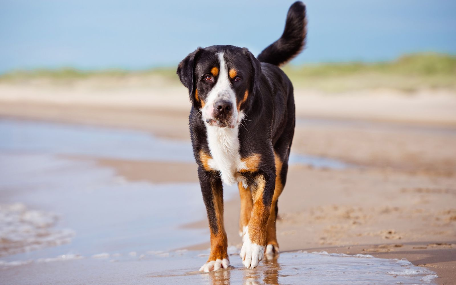 Great Swiss Mountain Dog - Lifestyle