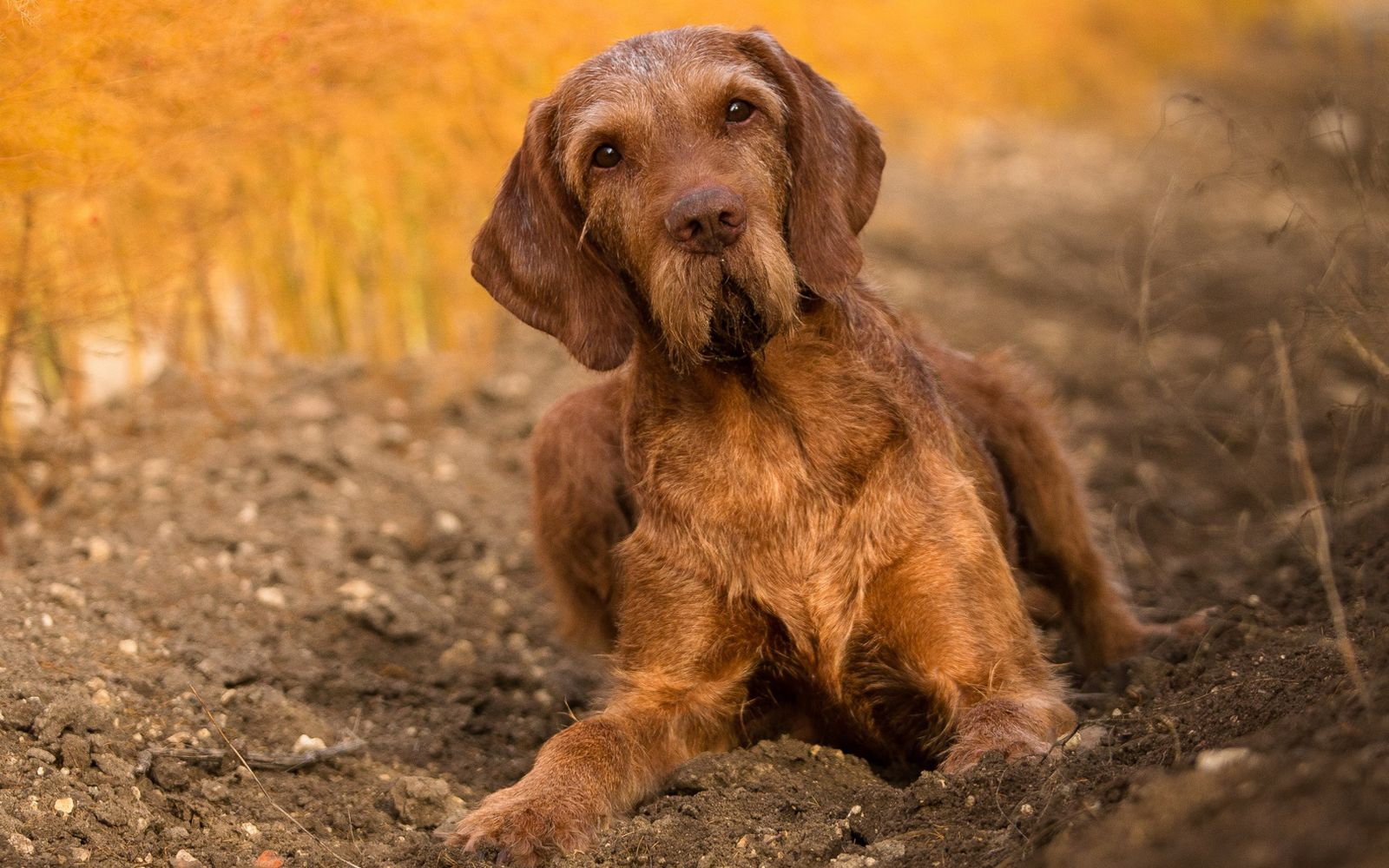 Hungarian Wire Haired Vizsla - Lifestyle