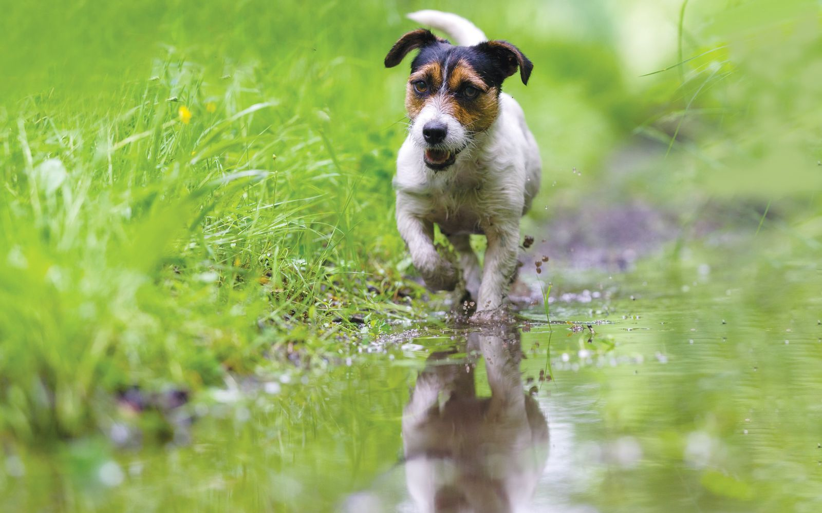 Jack Russell Terrier - Lifestyle