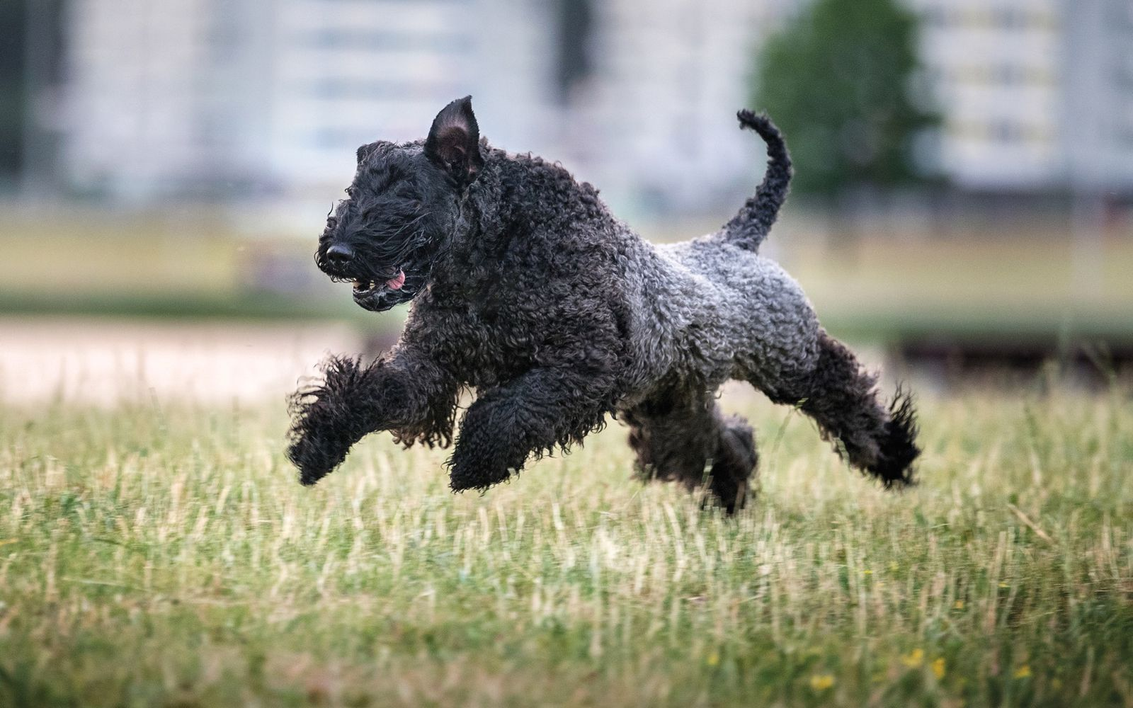 Kerry Blue Terrier - Lifestyle