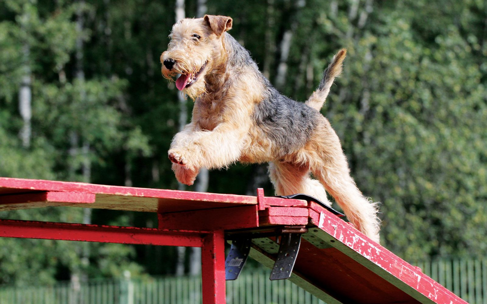Lakeland Terrier - Lifestyle
