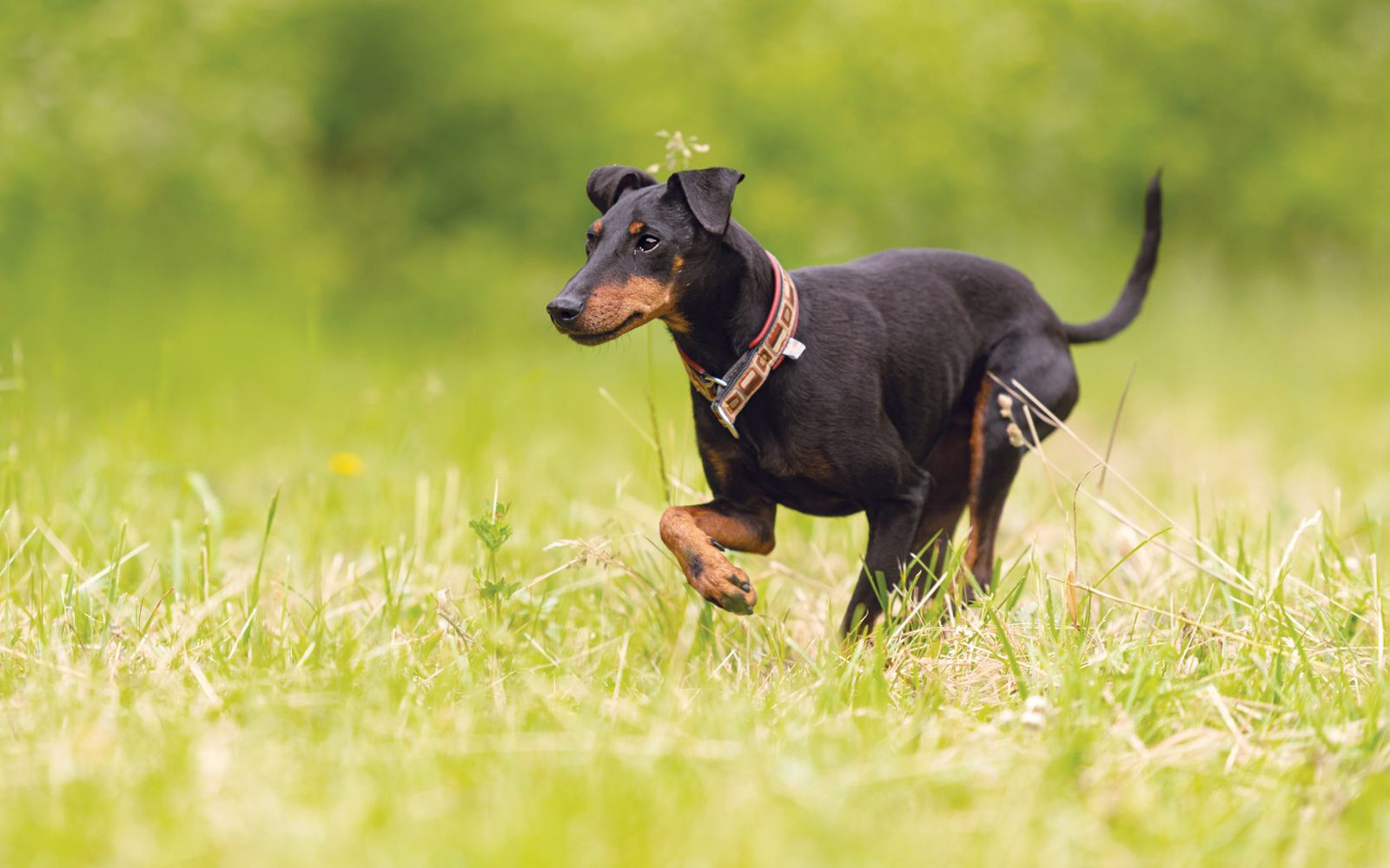 Manchester Terrier - Lifestyle