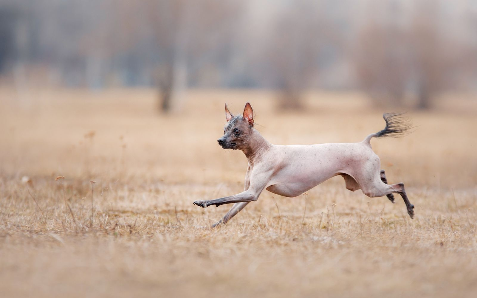 Mexican Hairless (Xolo) Miniature - Lifestyle