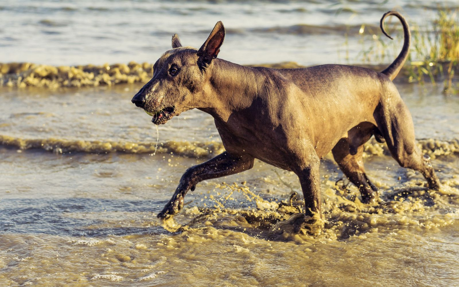 Mexican Hairless (Xolo) Standard - Lifestyle