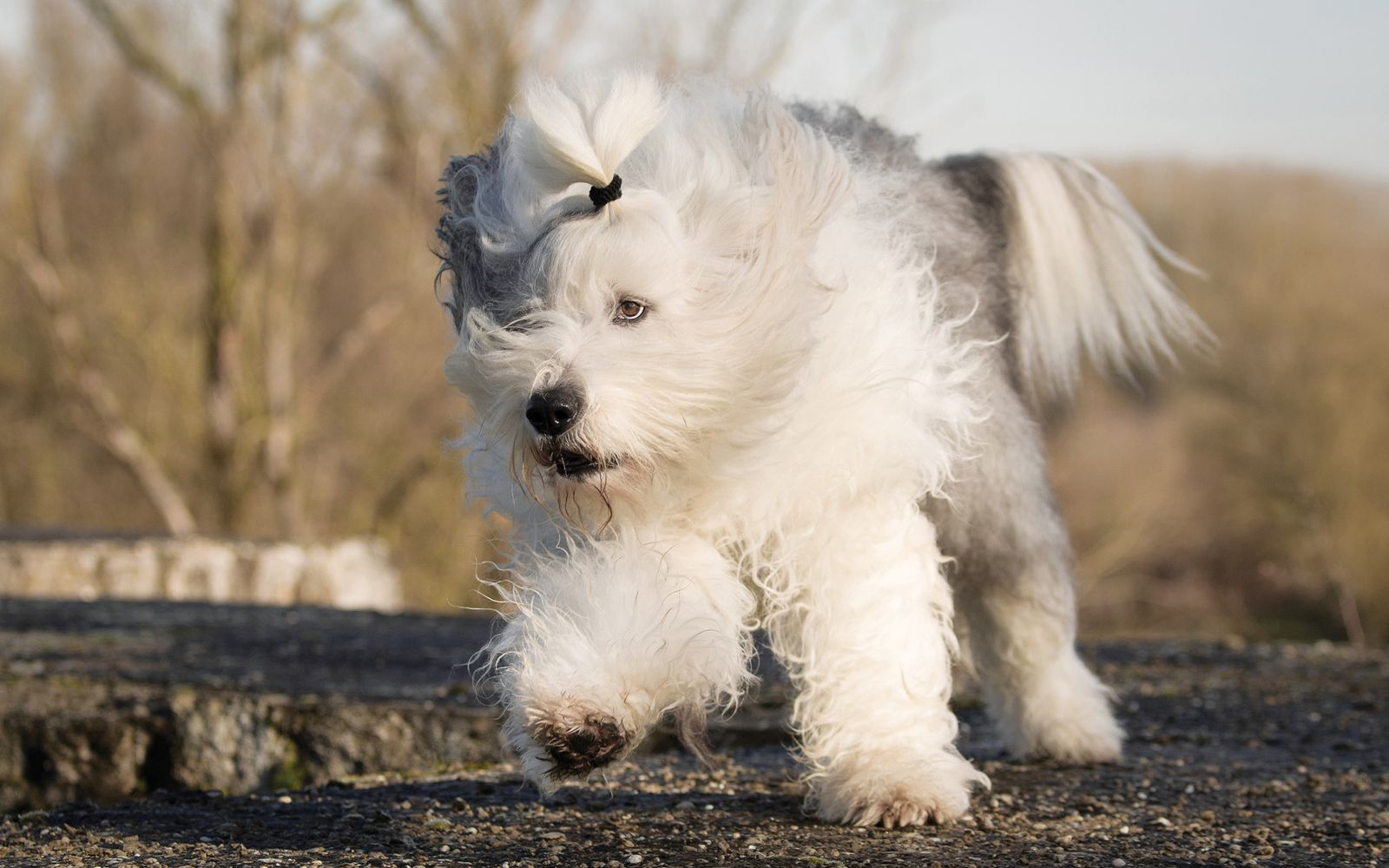 Old English Sheepdog - Lifestyle