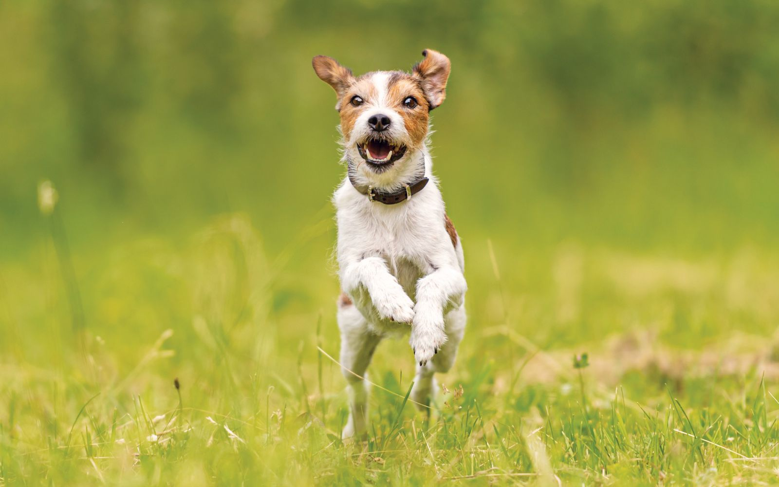 Parson Russell Terrier - Lifestyle