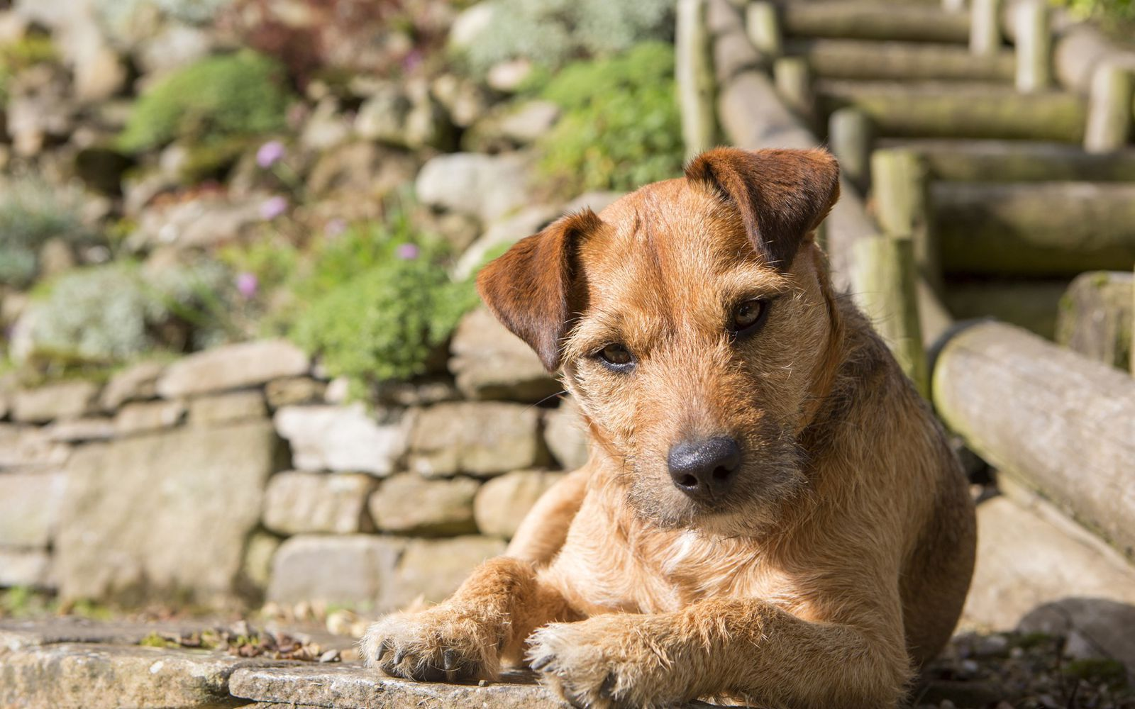 Patterdale Terrier - Lifestyle