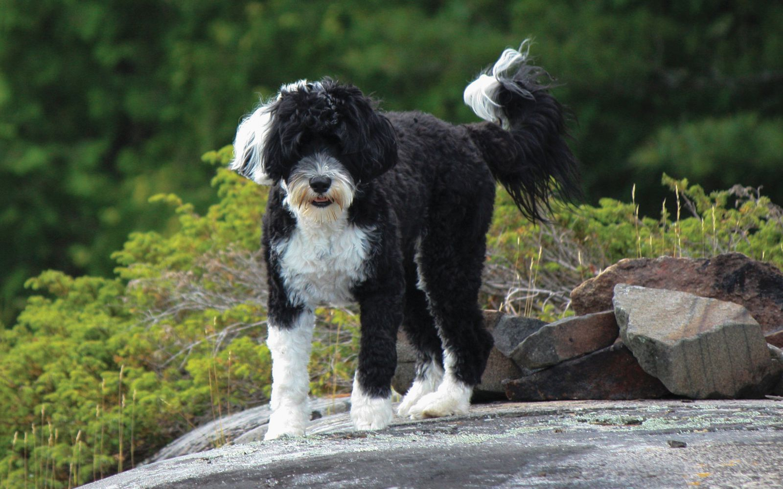 Portuguese Water Dog - Lifestyle