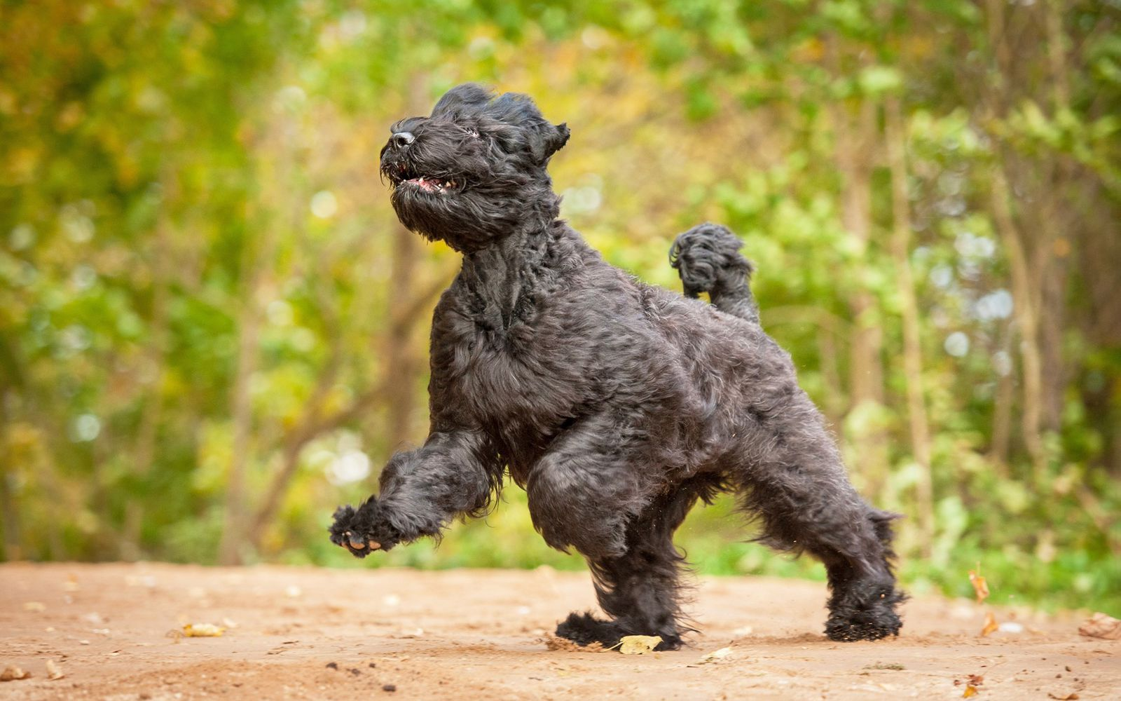 Russian Black Terrier - Lifestyle