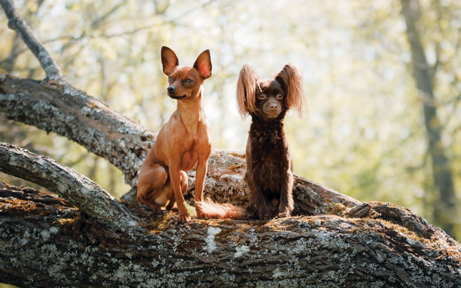 Russian Toy Terrier - Lifestyle