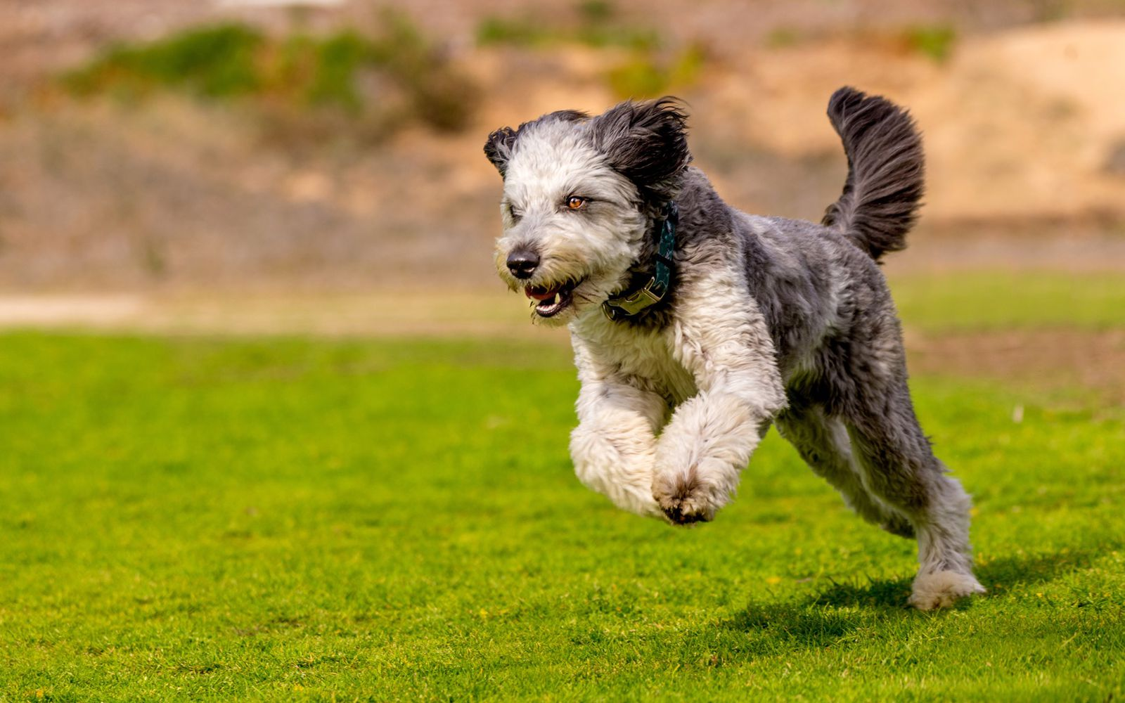 Schnoodle Large - Lifestyle