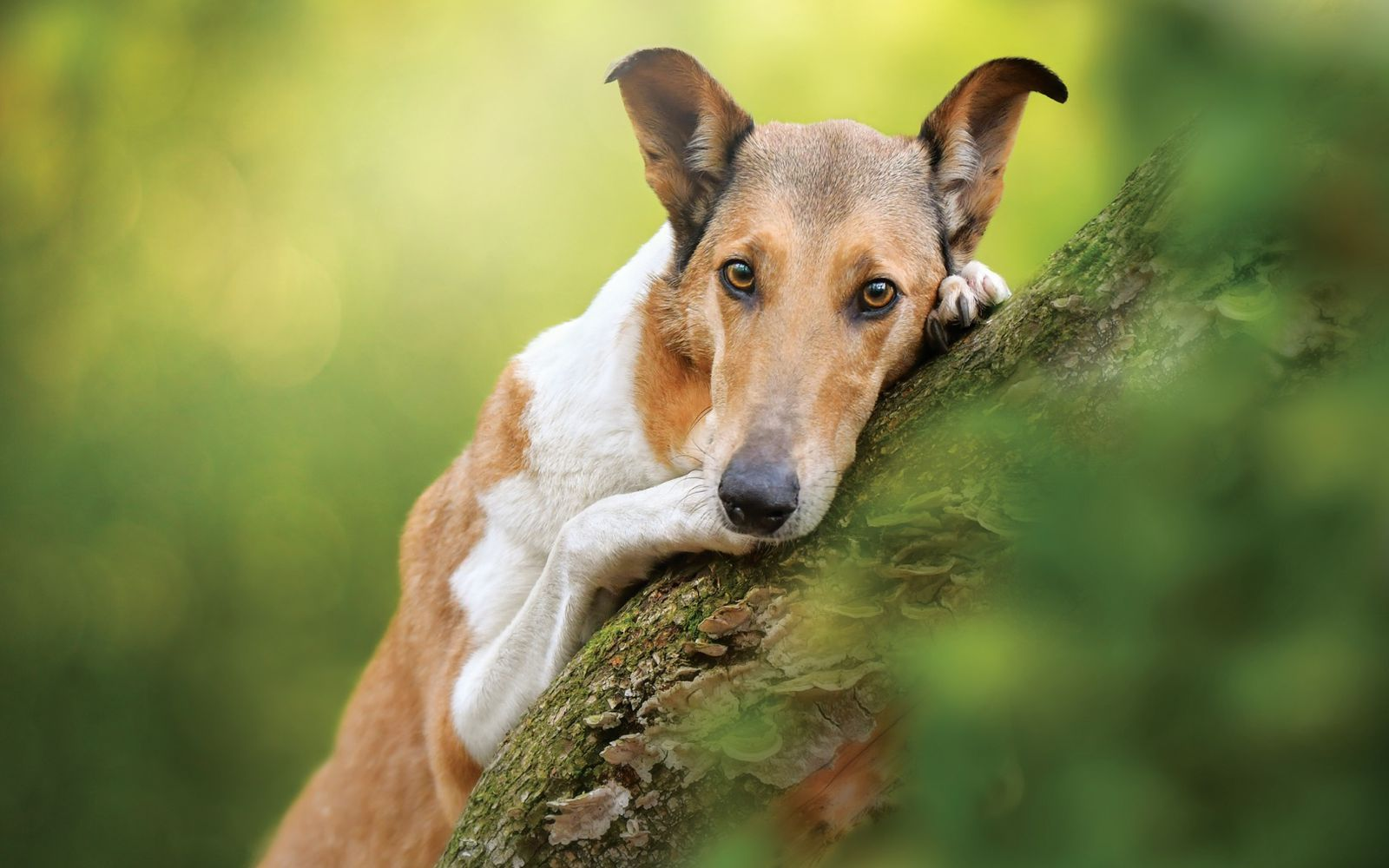 Smooth Collie - Lifestyle