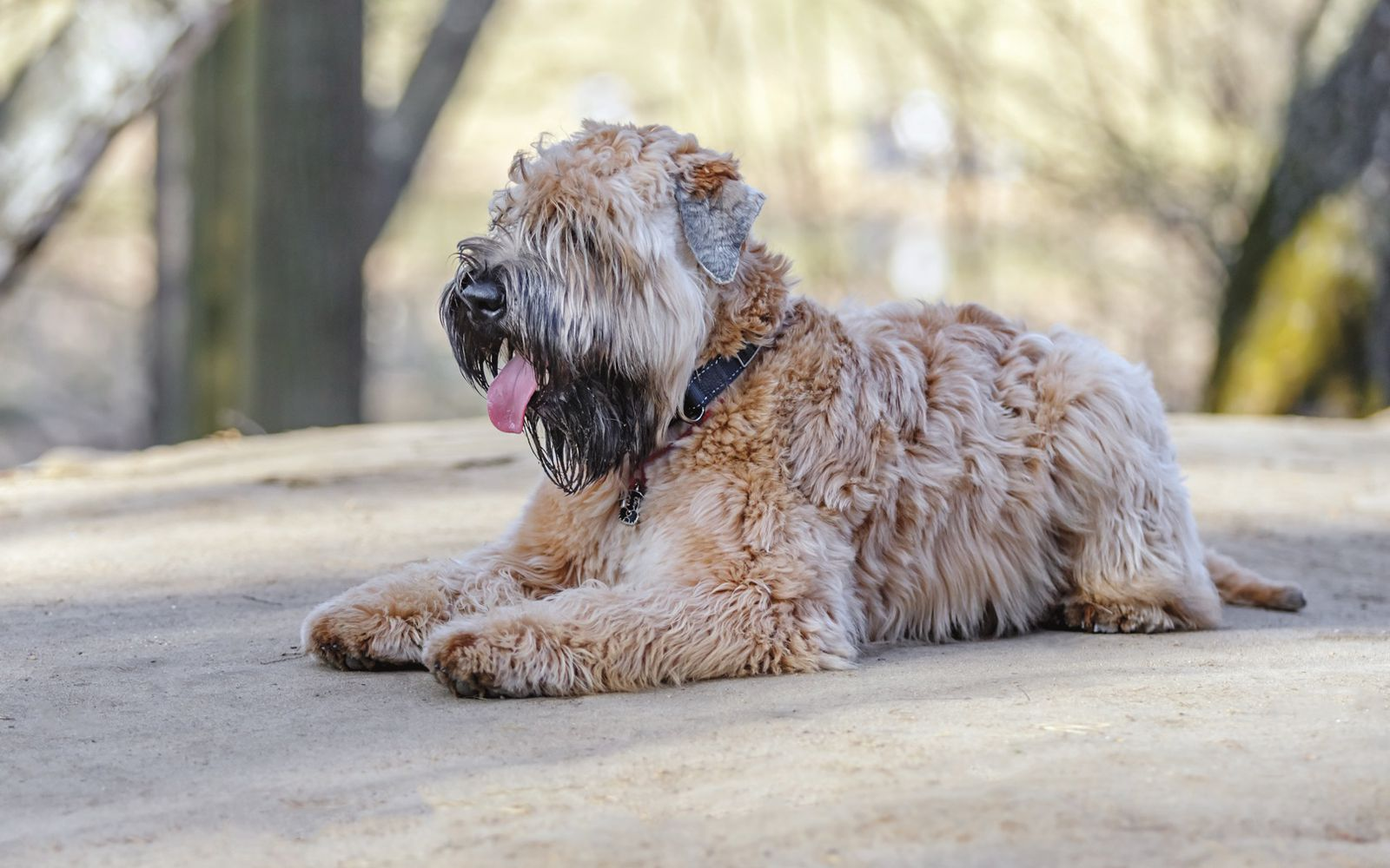 Soft Coated Wheaten Terrier - Lifestyle
