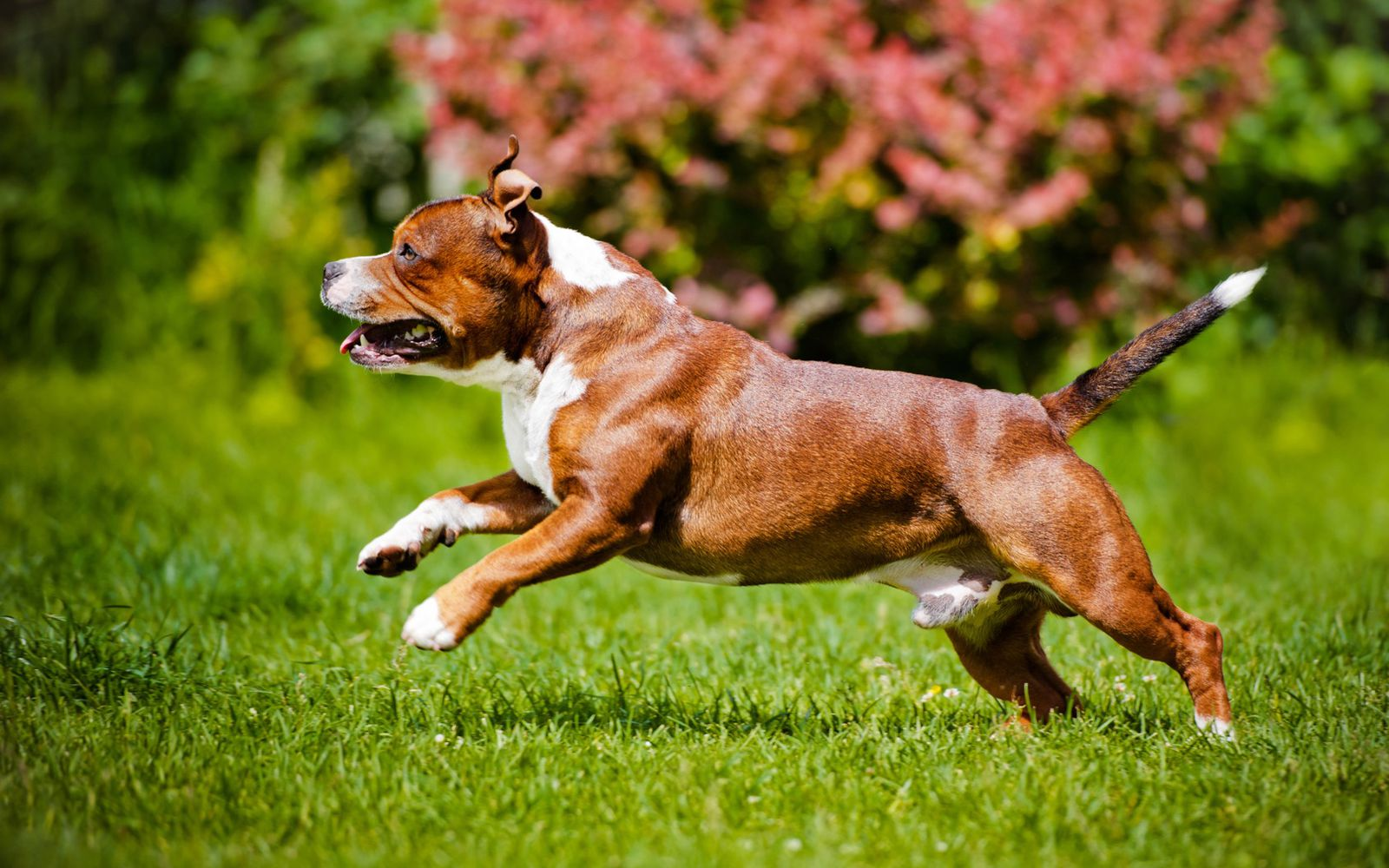 Staffordshire Bull Terrier - Lifestyle
