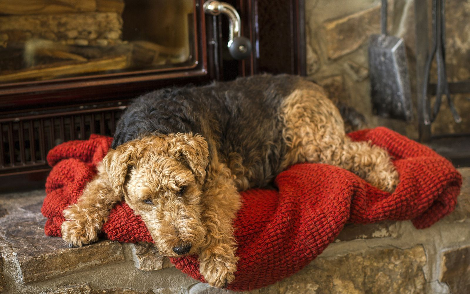 Welsh Terrier - Lifestyle