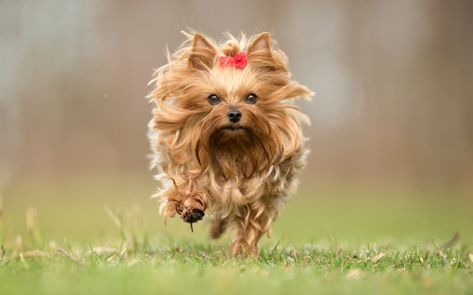Yorkshire Terrier - Lifestyle