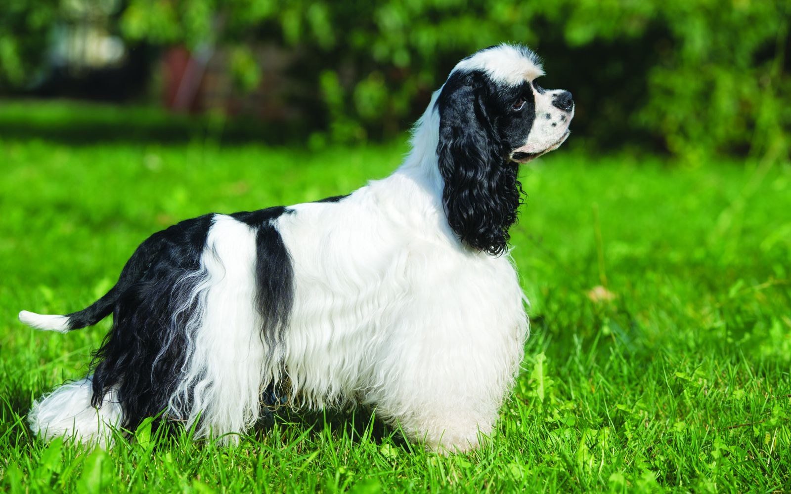 American Cocker Spaniel - Main