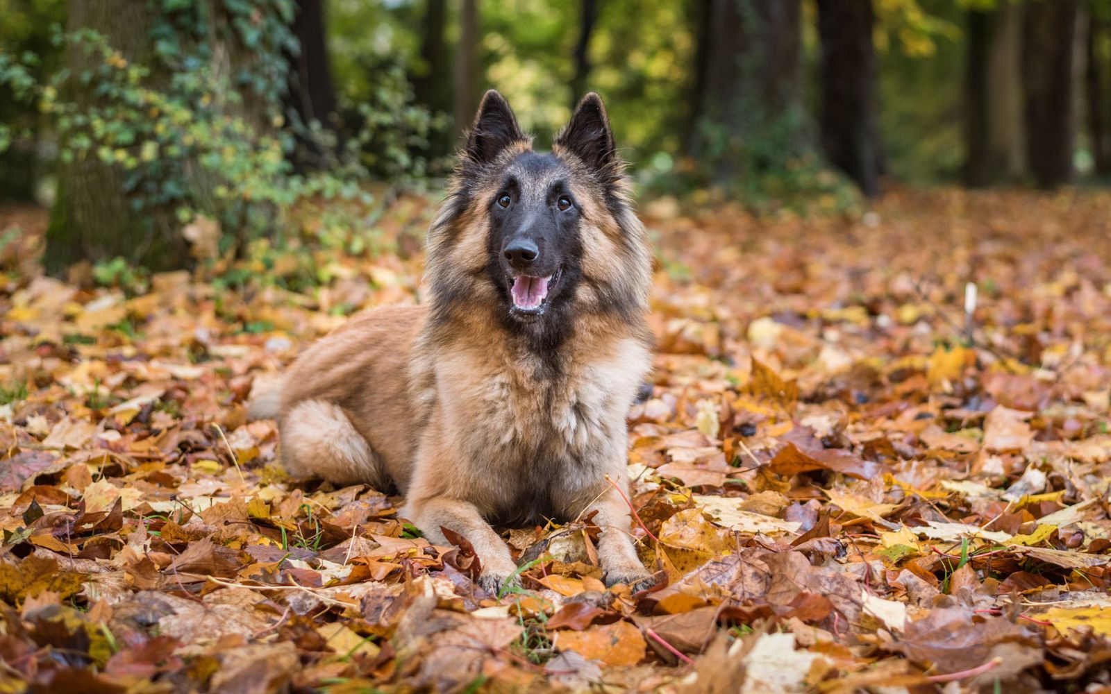 Belgian Shepherd Dog (Tervueren) - Main