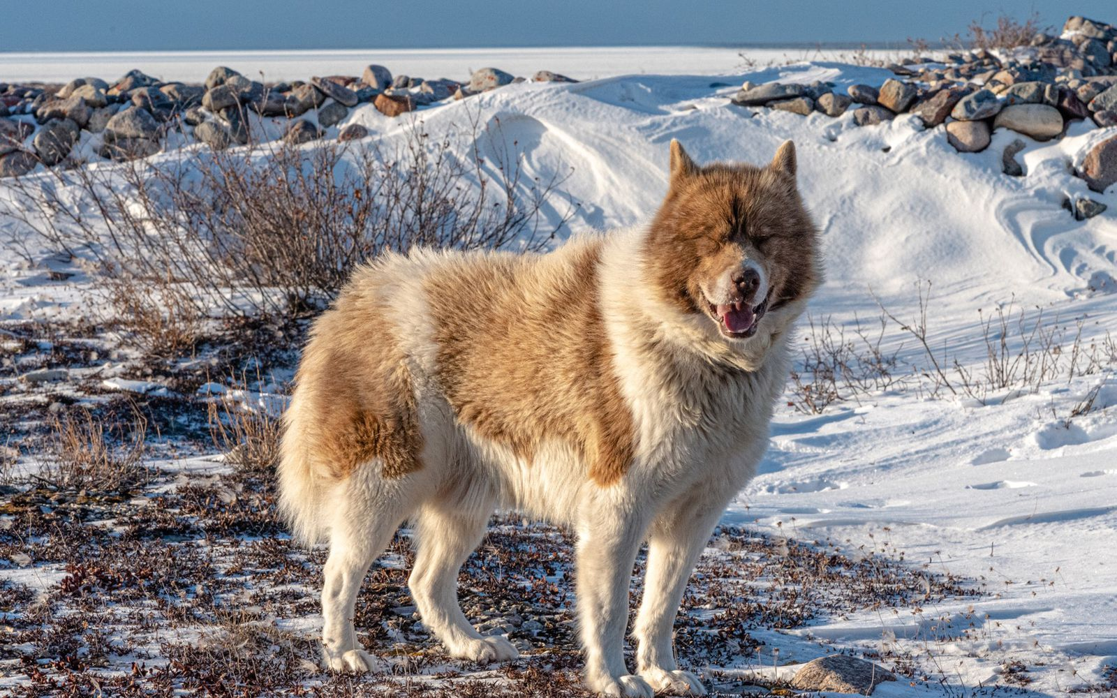 Canadian Eskimo Dog - Main