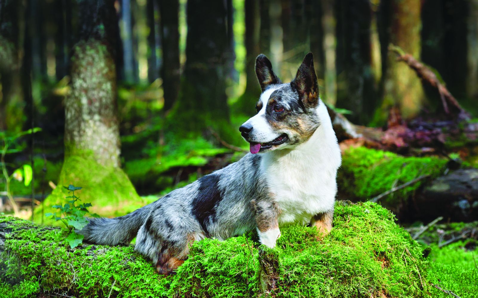 Cardigan Welsh Corgi - Main