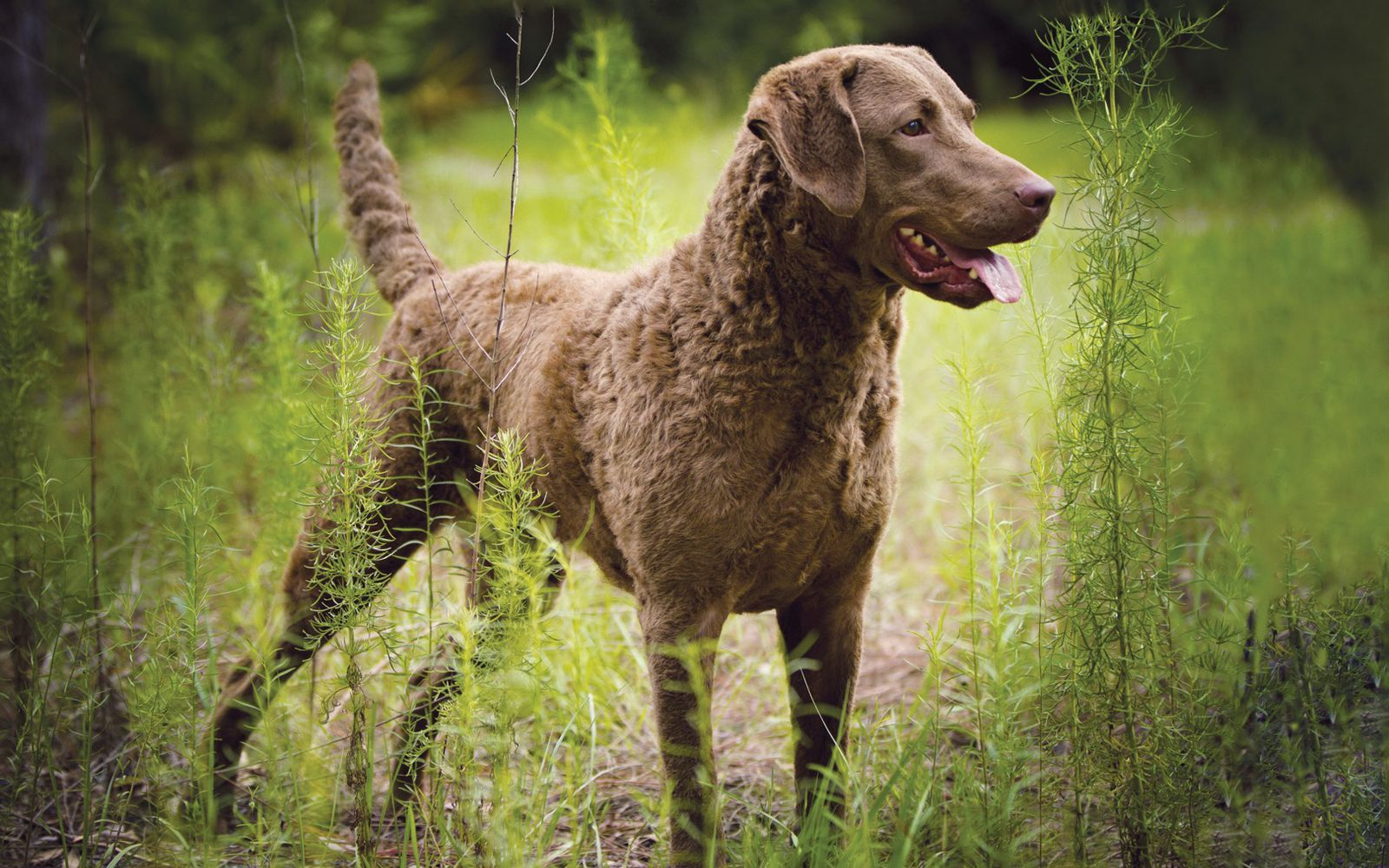 Chesapeake Bay Retriever - Main