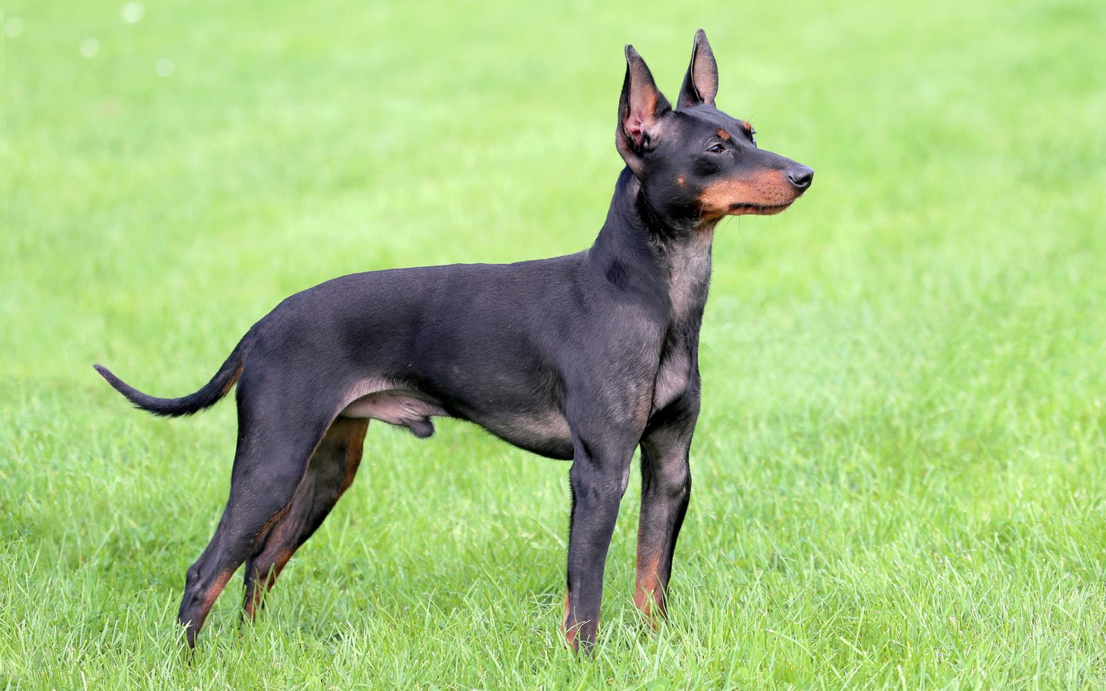 English Toy Terrier (Black and Tan) - Main