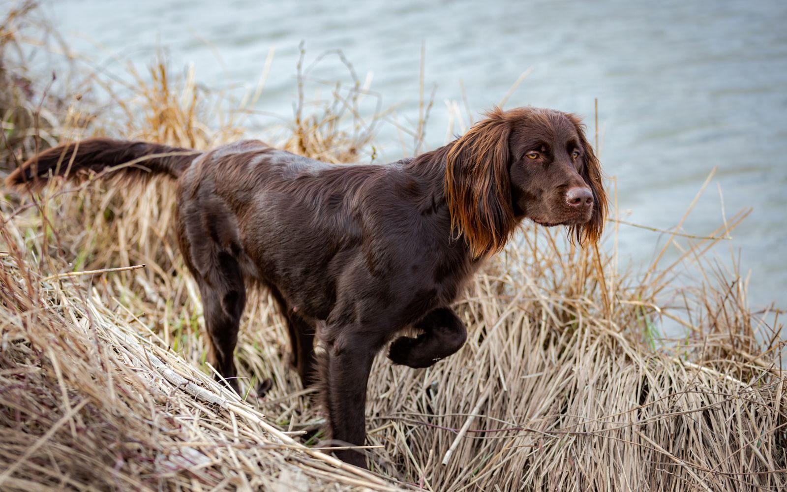 German Longhaired Pointer - Main