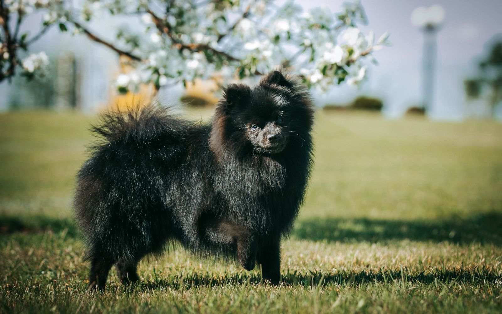 German Spitz Klein - Main
