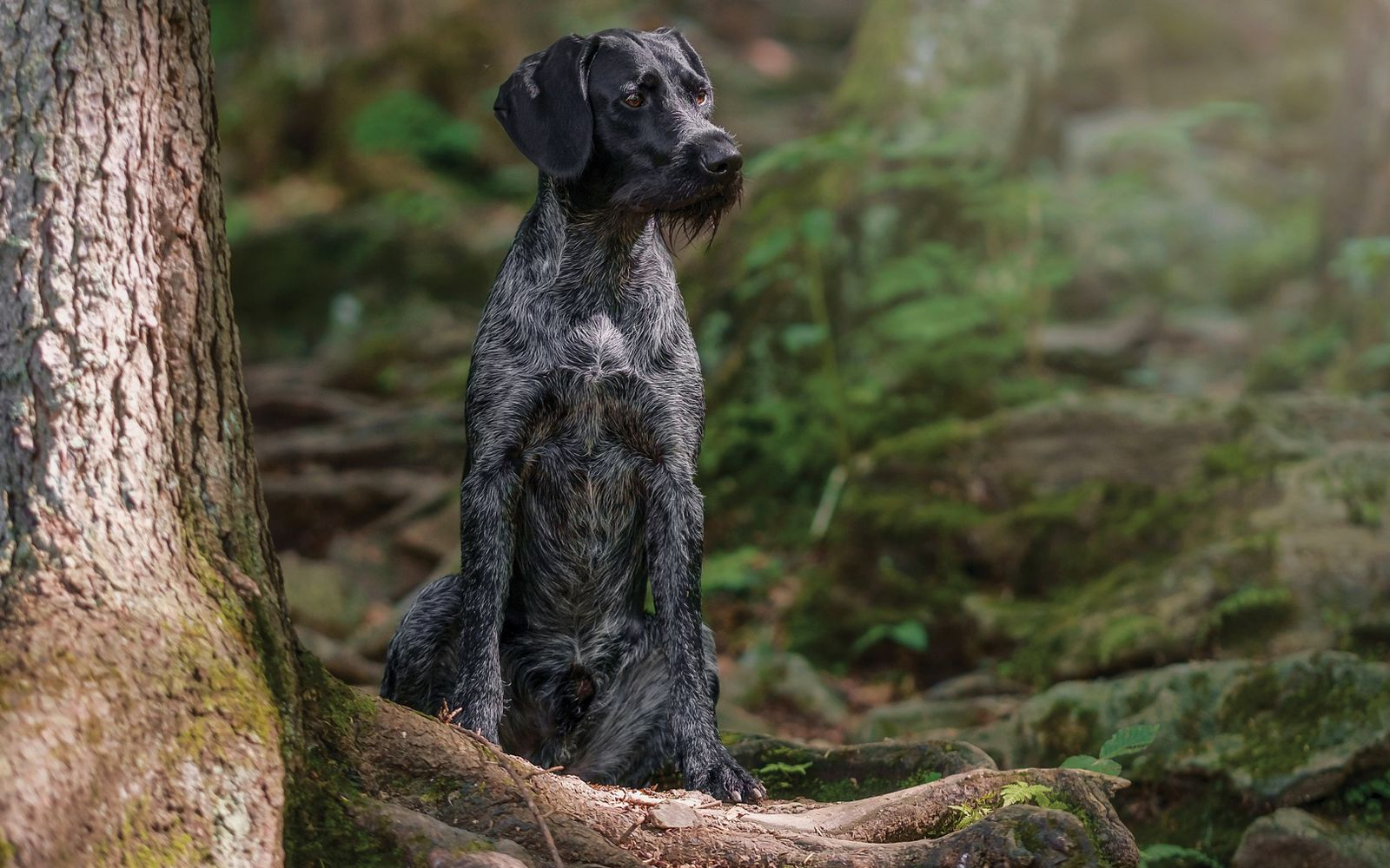 German Wirehaired Pointer - Main