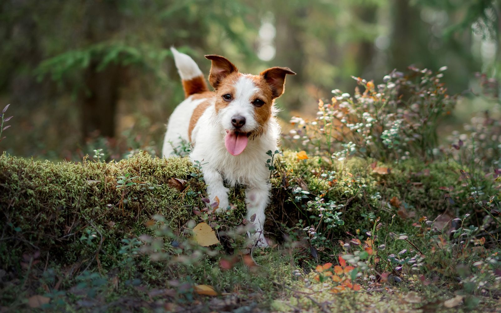 Jack Russell Terrier - Main