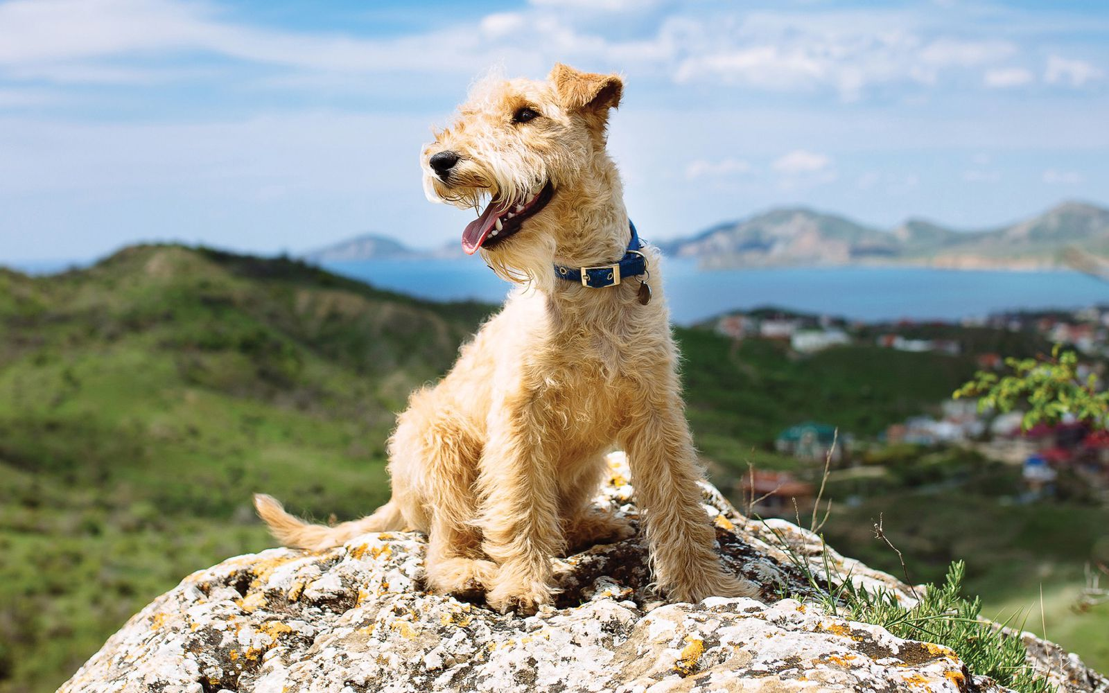 Lakeland Terrier - Main