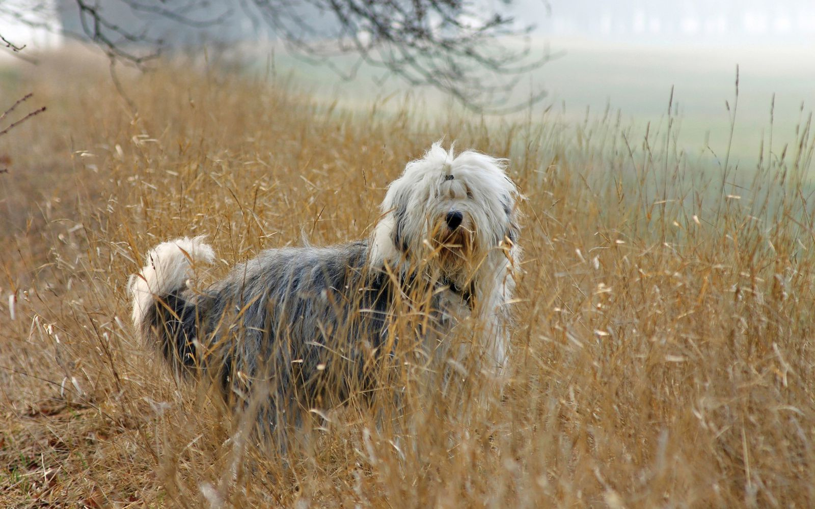 Old English Sheepdog - Main