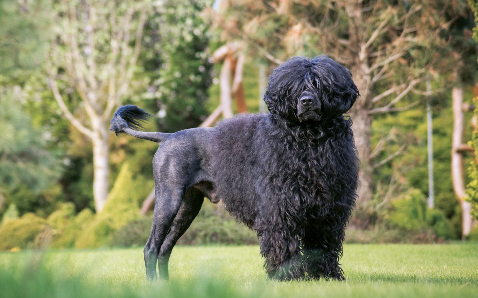 Portuguese Water Dog - Main